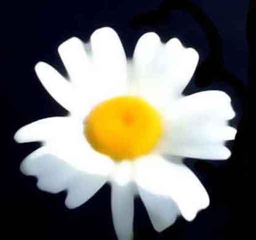 Una especie de edelweiss